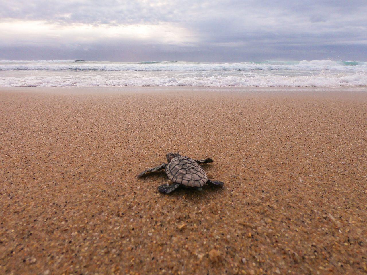 绿海龟和伐木头:拉拉海滩的海龟物种